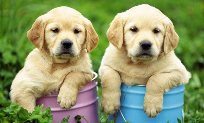 Hayvanseverler kazandı, Labradorlar serbest