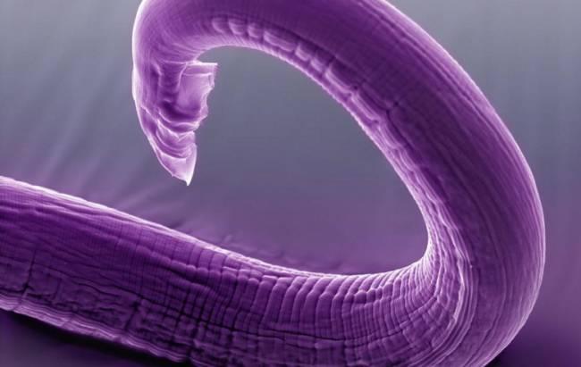Model Organizmalardaki Uzun Yaşam Genleri